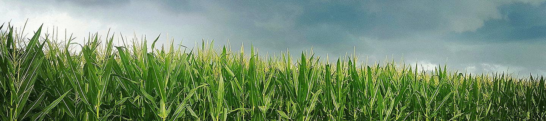 P8812 - kukurydza na ziarno I kiszonkę.