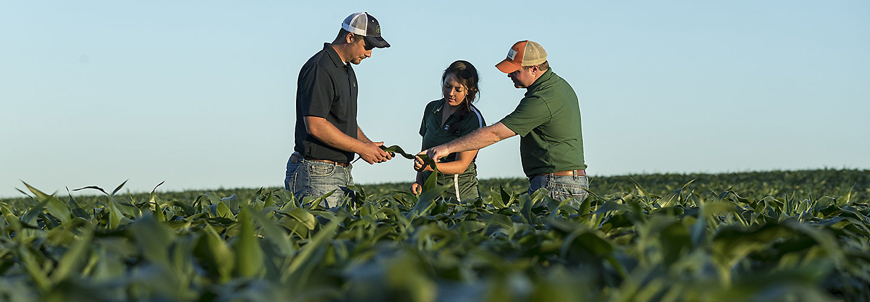 Pioneer rep - examining crop in field.