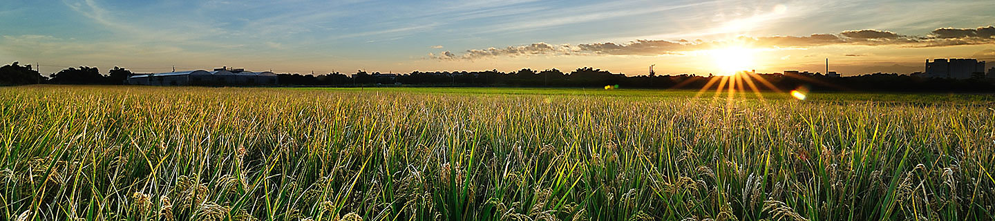 rice field with sun shining in the background
