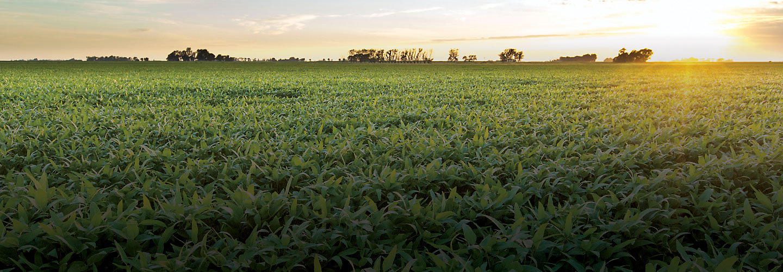 Atardecer con cultivo de soja.