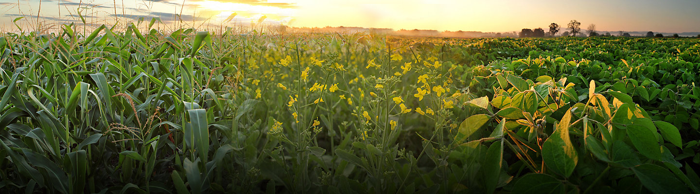 Soybean, corn and canola fields