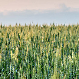 Wheat field and sky