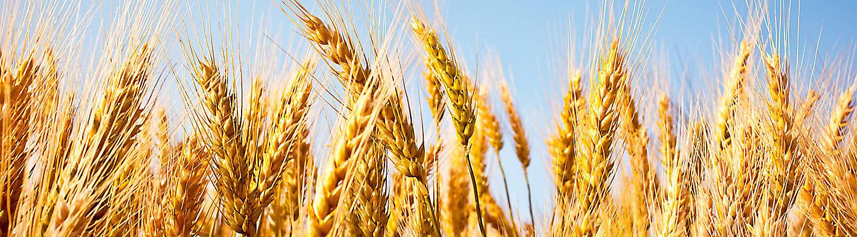 buğday yakından