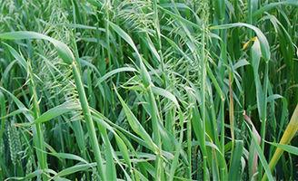 Wild-oats