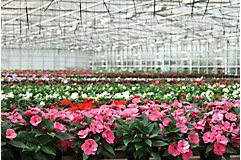 Annual flowers in greenhouse
