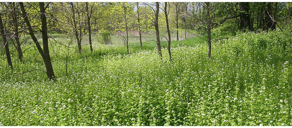 garlic mustard weeds