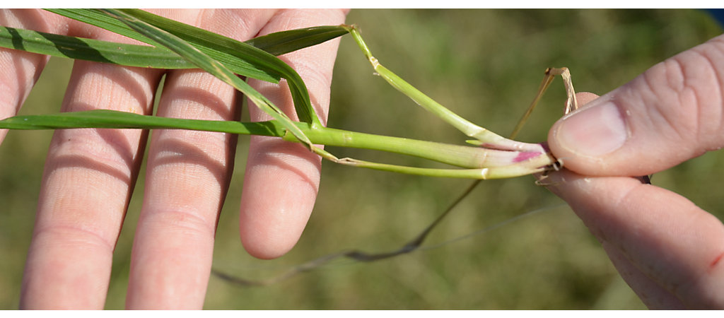 two hands holding a grass plant with exposed root, mainstem, and tiller