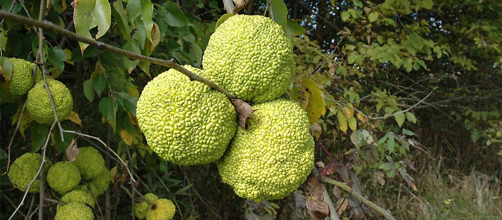 Fruit from an osage orange tree