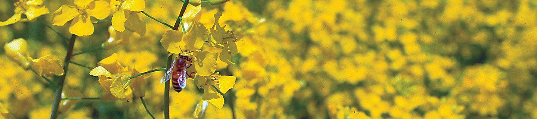 Желтые цветы рапсового растения на поле