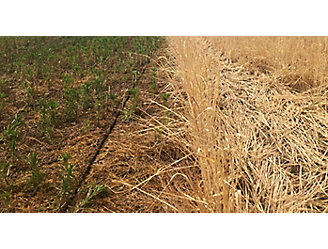 Cereal Rye field