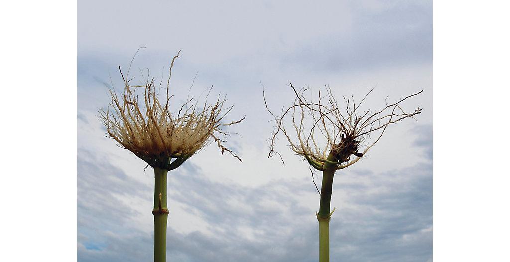 Qrome? corn stalk vs. non-bt stalk comparison