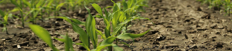 early season corn in field