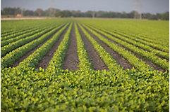 Midseason soybean