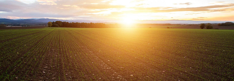 Emergence wheat field