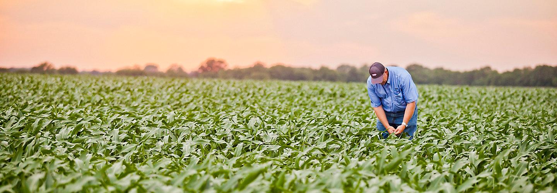 Farmer in early season corn field