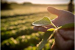 hand holding emergence alfalfa in field