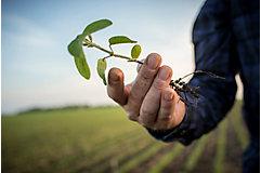 Emergence soybean stalk