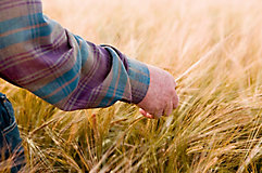 Hand inspecting mature wheat field