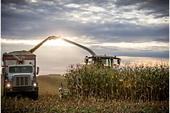Harvesting corn in field