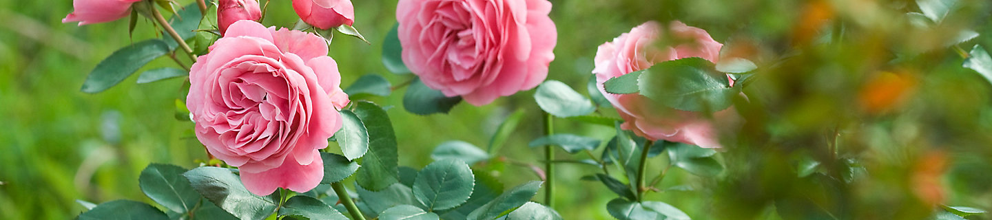 Image of knock out rose
