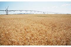 late-season-wheat-field-2_beauty_850pix