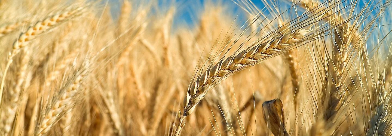 late-season-wheat-field-3_beauty_2_88-1