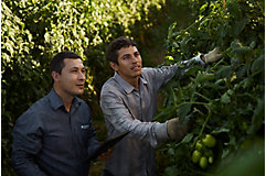 Men in tomato field inspecting plants