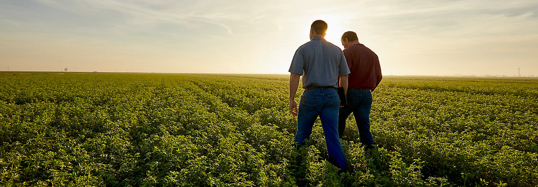 Men walking in midseaon alfalfa field
