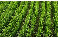 mid-season-rice-field-3_beauty_850pix