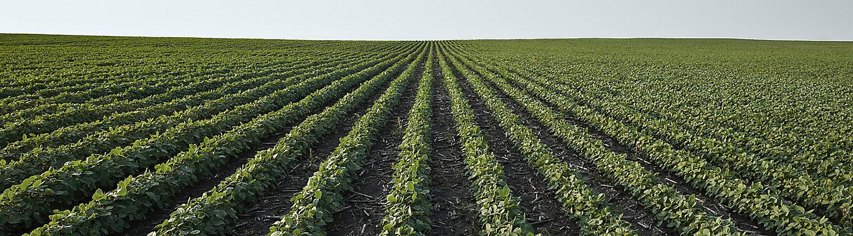 mid-season-soybean-field-1_beauty_1-1