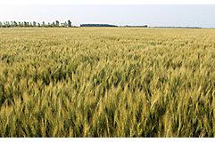 mid-season-wheat-2_beauty_850pix