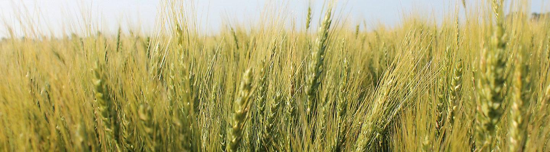 mid-season-wheat-field-1_beauty_1-1