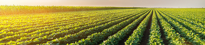 midseason soybean field at sunset