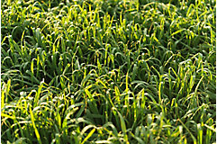Pasture grass close up