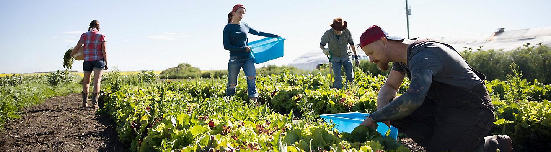Farmers harvesting lettuce