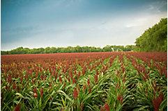 Sorghum field-Distance shot