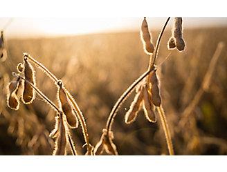 Soybean sunset beauty