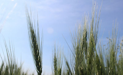 Wheat crop with blue sky behind