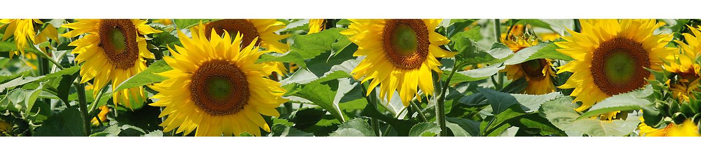 IMG_sunflower_desktop (3fac37d8-4073-47a7-ad57-5bc6154749a3)