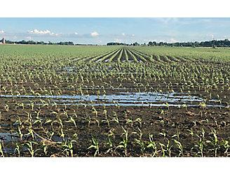 Wet corn field