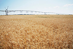 Wheat field with irrigation system