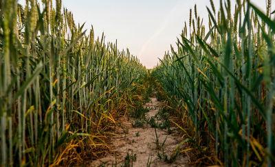 Walking lane with wheat on both sides