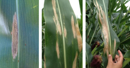Characteristic symptoms of NCLB: 'cigar shaped' tan or grayish lesions on leaf surface. Lesions eventually coalesce into necrotic tissue.