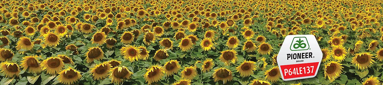 Sunflower P64LE137