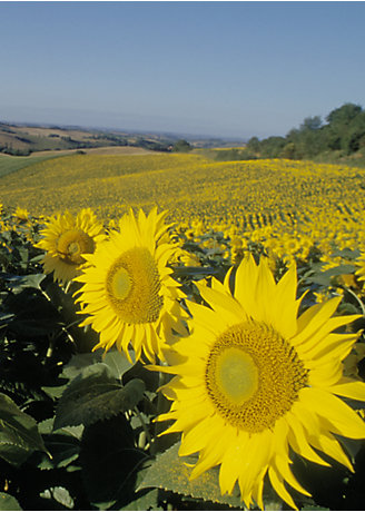 Sunflower_T_SOL_021