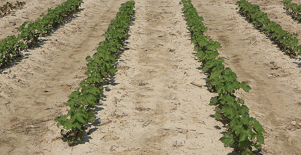 ENLIST COTTON TREATED WITH  ENLIST DUO® HERBICIDE*