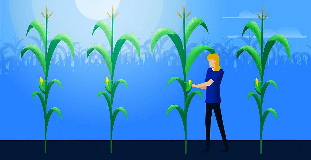 Sortan™ IS Corn Herbicide Helps Growers Maximize Yield