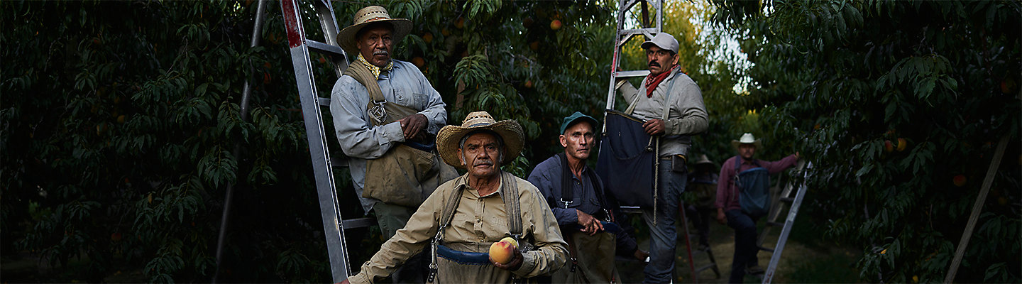 Workers In Peach Orchard