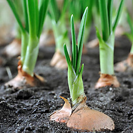 Zorvec Onions