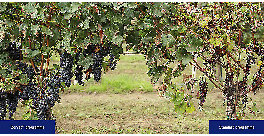 A side-by-side comparison of grape vines protected with DuPont™ Zorvec™ vs. the grower standard in a DuPont sponsored field trial in 2014